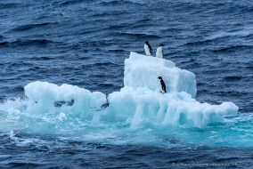 Adelie penguins taking a ride on a small iceberg, Antarctica