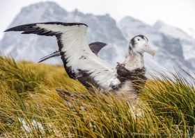 Young Wandering Albatross chick (Diomedea exulans) trying his huge wings, Prion Island.