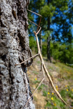 Stick insect (Bacunculus phyllopus), Lake District of Chile. In Chile it is called palote.