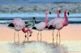 Andean Flamingos (Phoenicopterus andinus) at Lagunas Chaxas in the Salar de Atacama