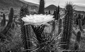 Black and White: Close up of giant cactus flower of Echinopsis deserticola, Atacama desert Chile