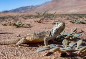 Closeup of Atacama lizard (Liolaemus atacamensis) in the desert near Copiapo, Chile