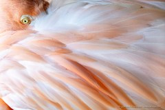 Flamingo eye and feathers