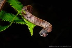 New species just described: Inger's Slug-eating snake (Asthenodipsas ingeri), Kinabalu National Park, Borneo