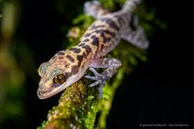 Kinabalu Bent-toed Gecko (Cyrtodactylus baluensis)