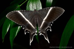 Swallow-tailed moth (Lyssa sp.), Sepilok