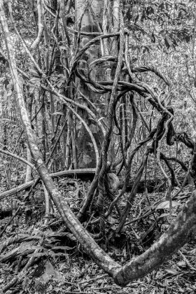 Dense tropical jungle with lianas in black and white, Tambopata - Peru