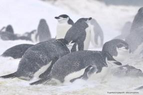 Chinstrap Penguins (Pygoscelis antarcticus) resisting a snow storm in Antarctica