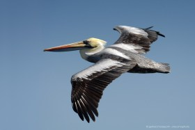 Pelican (Pelecanus thagus) in flight at the Chilean coast of Atacama