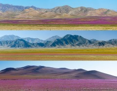 Panorama photos of the Atacama desert in bloom 2017 near Copiapo, Chile
