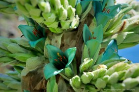 Unreal colors: Blue-green flower of Puya berteroniana, a bromeliad of Chile