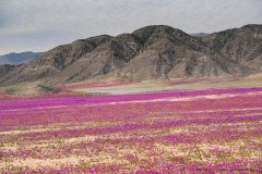 Pata de guanaco flowers (Cistanthe longiscapa) appear in large quantities when the Atacama is blooming