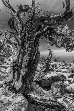 Black and white photo: Queñoa De Altura tree (Polylepis tarapacana) grows at altitudes of 5200 meters