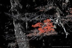 Partial black and white composition of red autumn leaves. Lenga tree in Patagonia