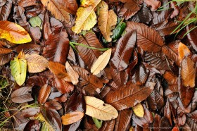 Wet brown colored autumn leaves of Nothofagus on forest floor in Patagonia, Chile