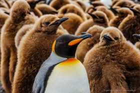 King penguin adult surrounded by fluffy brown chicks, South Georgia Island