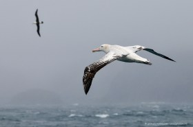 Two giant Wandering Albatross (Diomedea exulans) in flight over the southern ocean