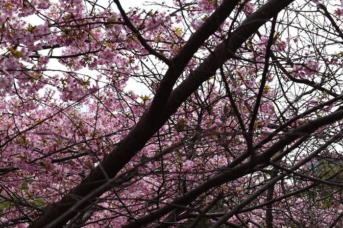 cherryblossoms_and_white-eye