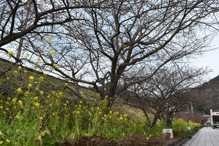 kawazu_cherryblossoms_20190207_6