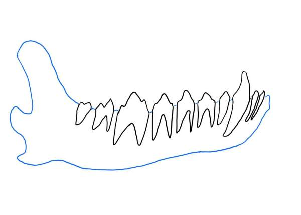 犬の顎骨(正常)