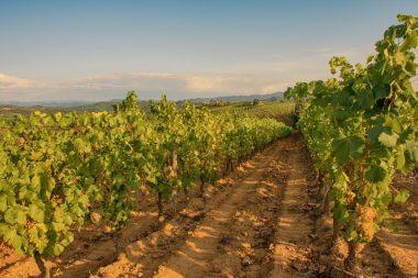 produttori del gavi vineyards