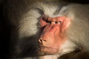baboon-655313_1920 (800x533)