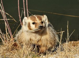 badger-937018_1280 (800x592)