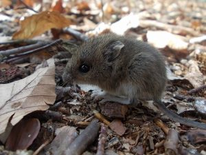 wood-mouse-823796_1280 (800x600)