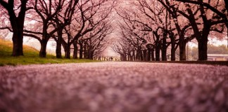 Philippines to Experience First Cherry Blossoms
