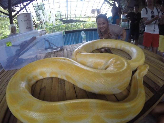The longest Albino Python in Bohol Philippines