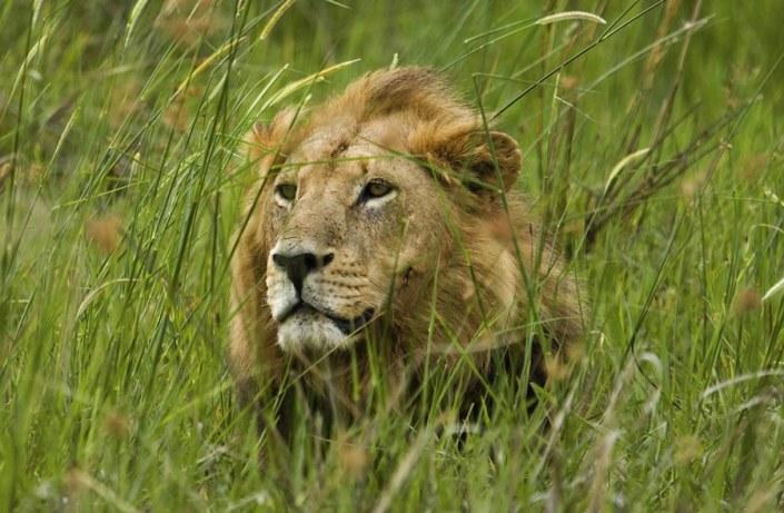 Botswana! Spot the King of Jungle in Botswana!