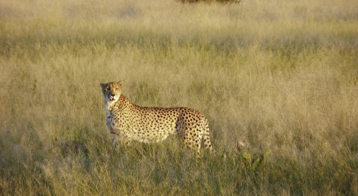 Botswana! Cheetah in Chobe Park