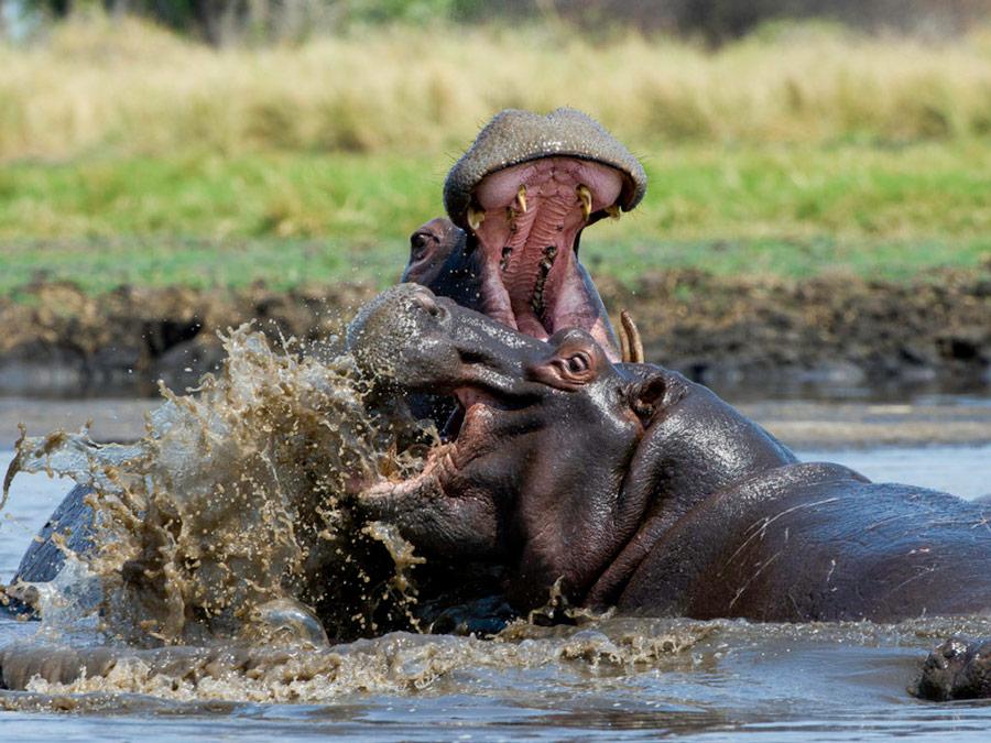 Zambia Luxury Safari - Hippo Zambezi