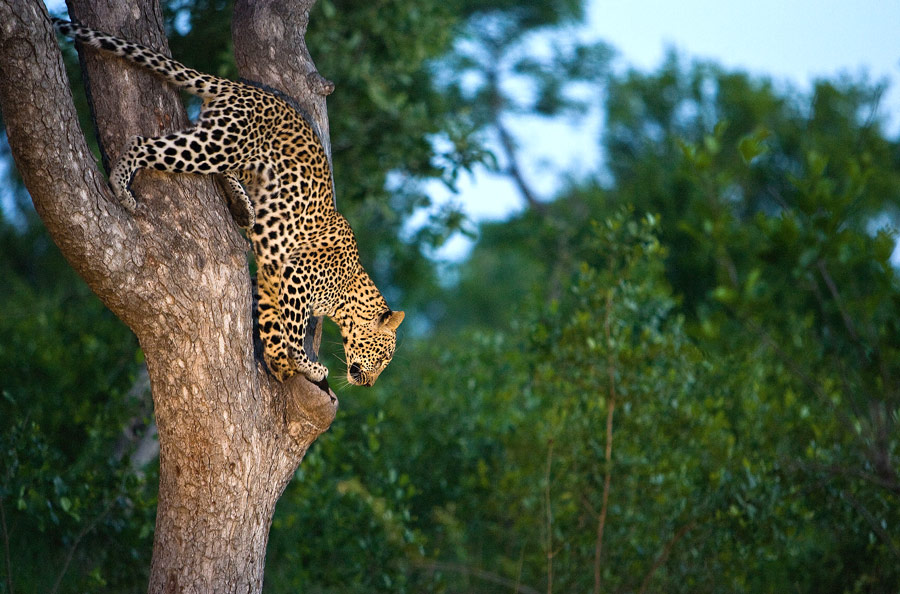 South Africa Luxury Safari - Sabie Sands Leopard