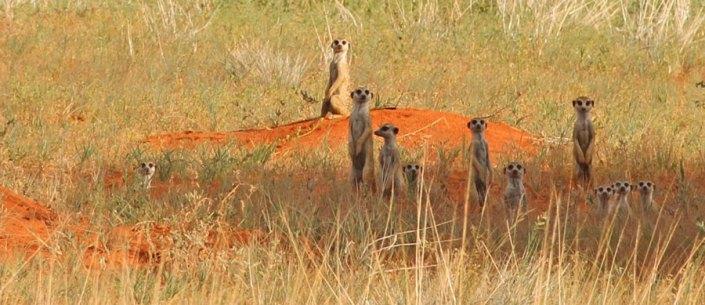 Suricates in the Kalahari Desert