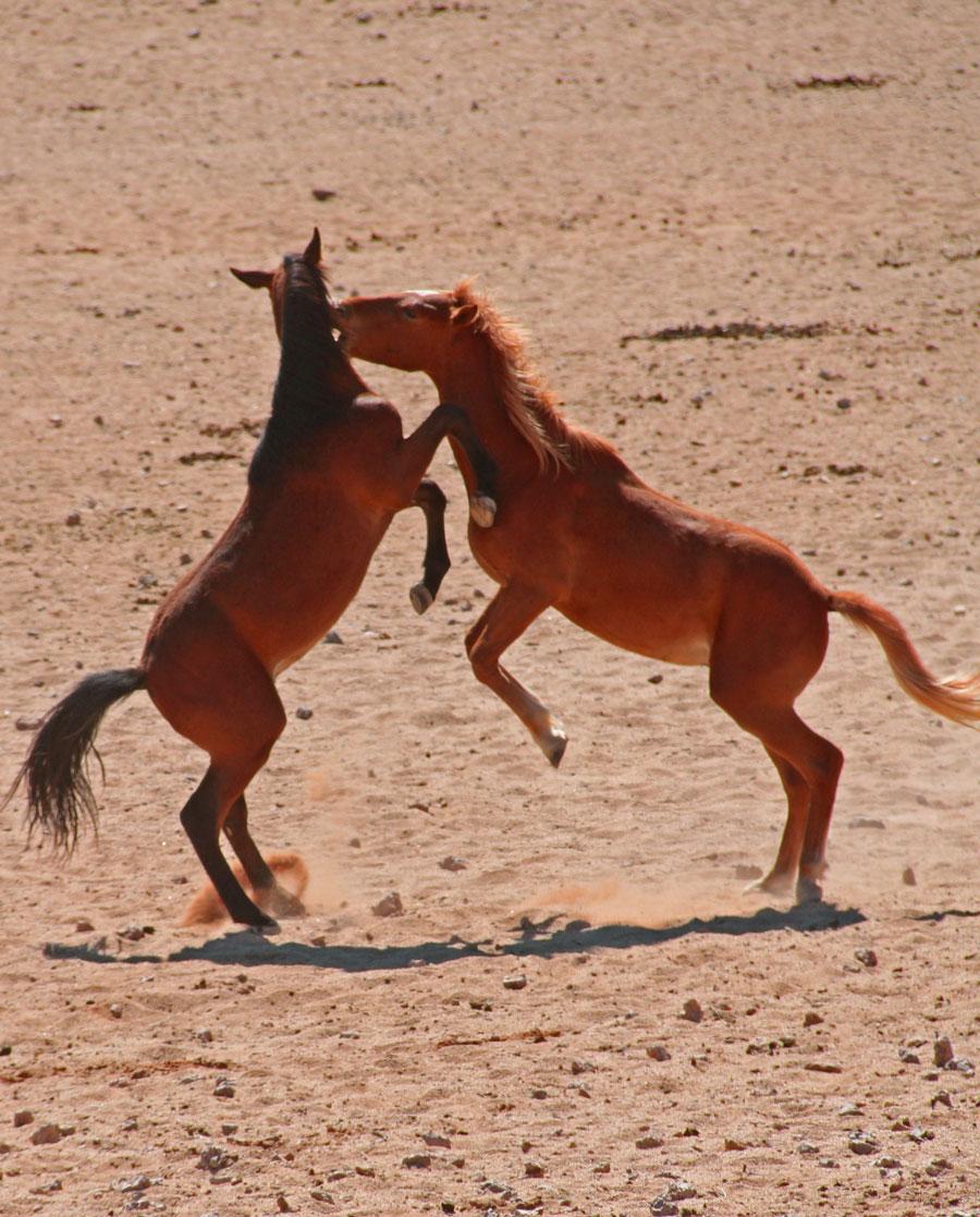 Wild Horses Namib Desert