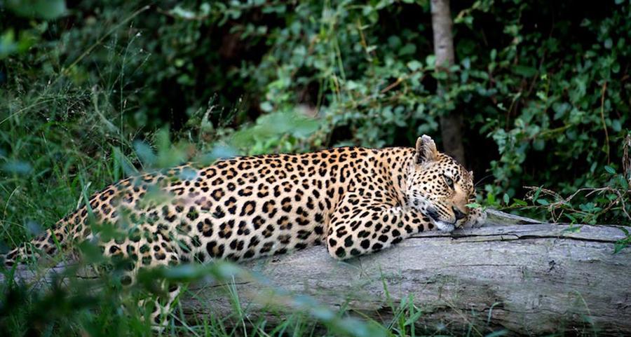 Leopard in the Grumeti Reserve part of the Serengeti in Tanzania