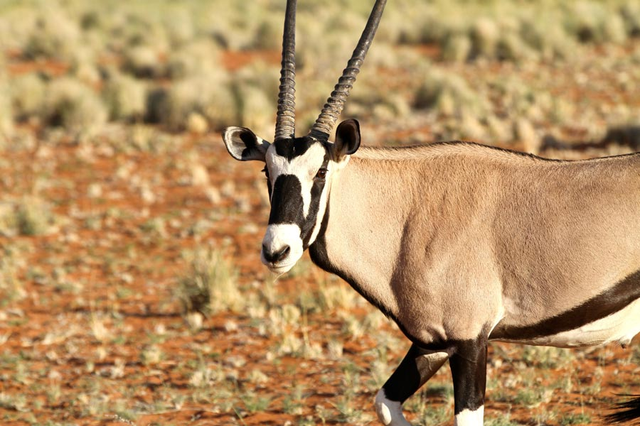 Wolwedans Reserve, Oryx