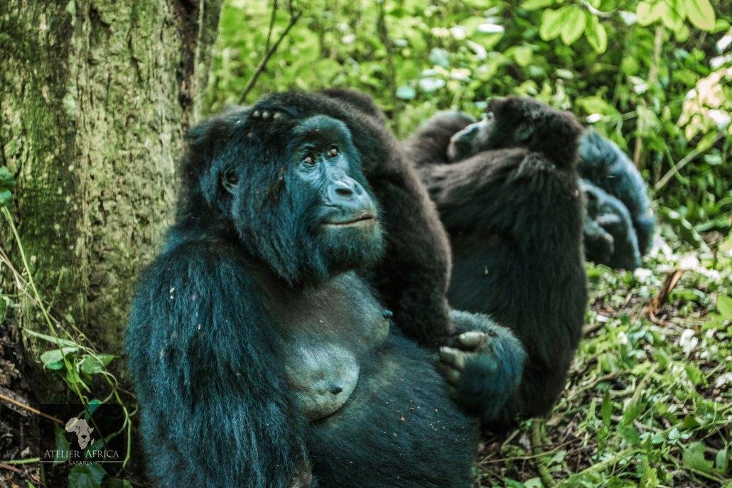 Congo Safari - Gorilla mother