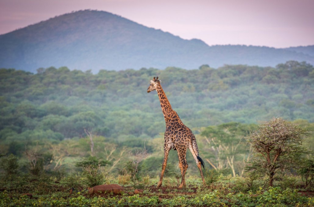 Rhino River Lodge - Giraffe - South Africa Reserve