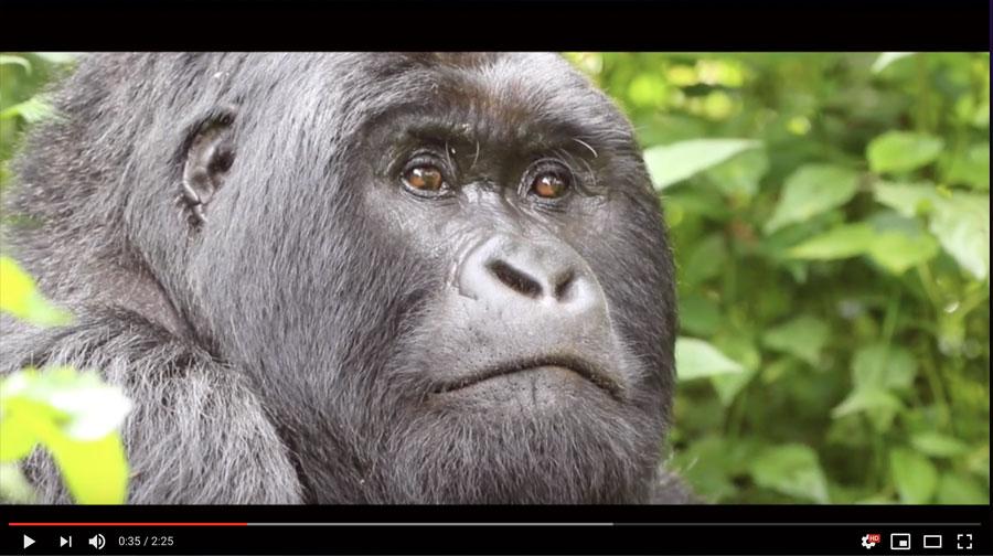 Congo Gorilla Safari video