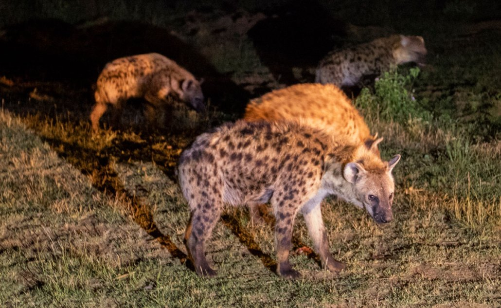 Ethiopia Harar Hyena