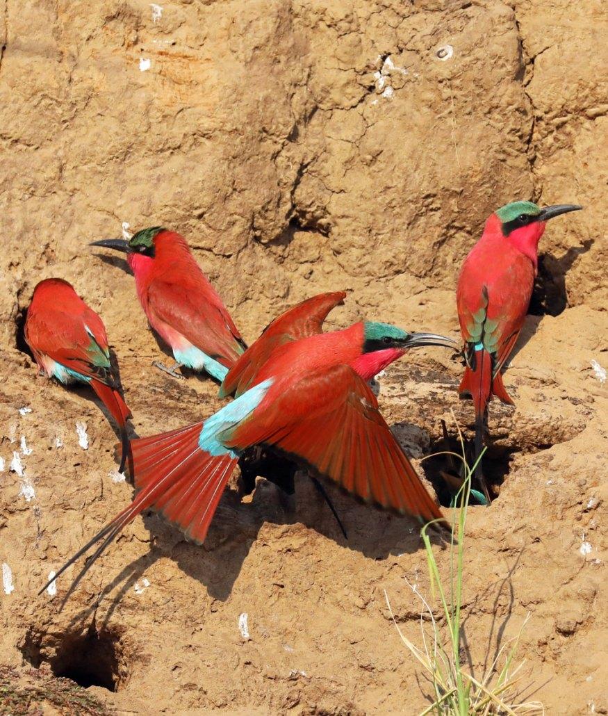 Zambia Safari Carmine