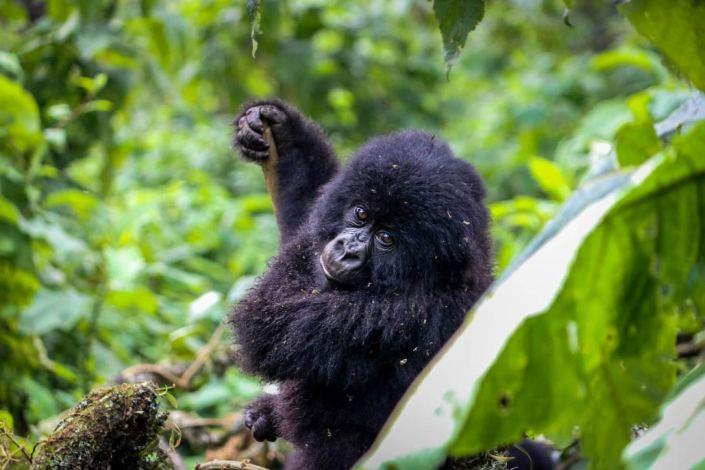 Congo Safari Baby Gorilla Virunga
