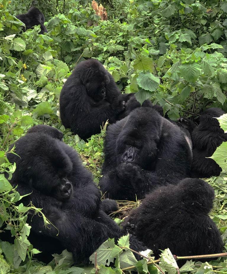 Congo Safari Gorilla Trek