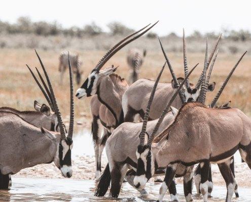 Oryx Namibia Etosha