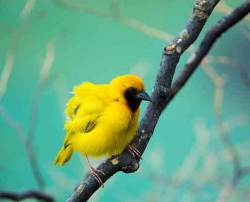 Mvuu camp yellow bird