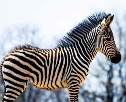 Mvuu-Camp-Little Zebra