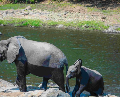 Relocation mother elephant with calf