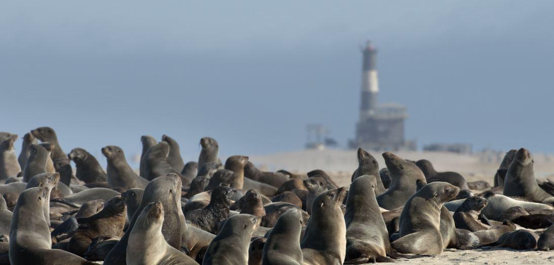 zeehonden Walvis Bay